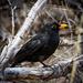 Blackbird by flyrobin