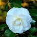 Camellia by congaree
