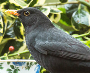 16th Dec 2015 - 2015 12 16 Blackbird Closeup