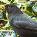 2015 12 16 Blackbird Closeup by pamknowler