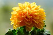 16th Dec 2015 - Orange Dahlia