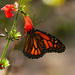 Monarch Butterfly by rickster549