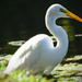 Great White Egret by rickster549