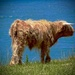 The big moo from the Highland 'Coo by maggiemae