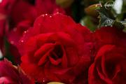 17th Dec 2015 - Red Begonia