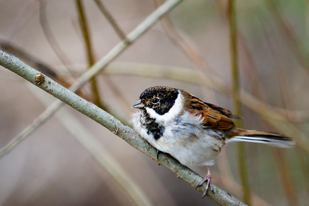 2015 12 20 - Reed Bunting by pixiemac