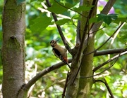 1st Aug 2008 -  Greater Spotted Woodpecker....