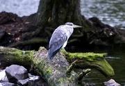 9th Aug 2008 - Heron....