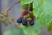 26th Aug 2008 -  Blackberries almost ready....