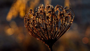 20th Dec 2015 - Lace and Bokeh