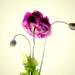Single poppy by maggiemae