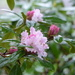 A Rhododendron.............. by susiemc