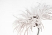 21st Dec 2015 - 2015-12-21 cream coloured spider gerbera ll