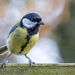 Great Tit by vignouse