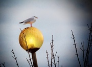 22nd Dec 2015 - Constance the seagull