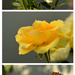 The Journey of a Rose by salza