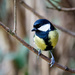 2015 12 22 - Great Tit by pixiemac