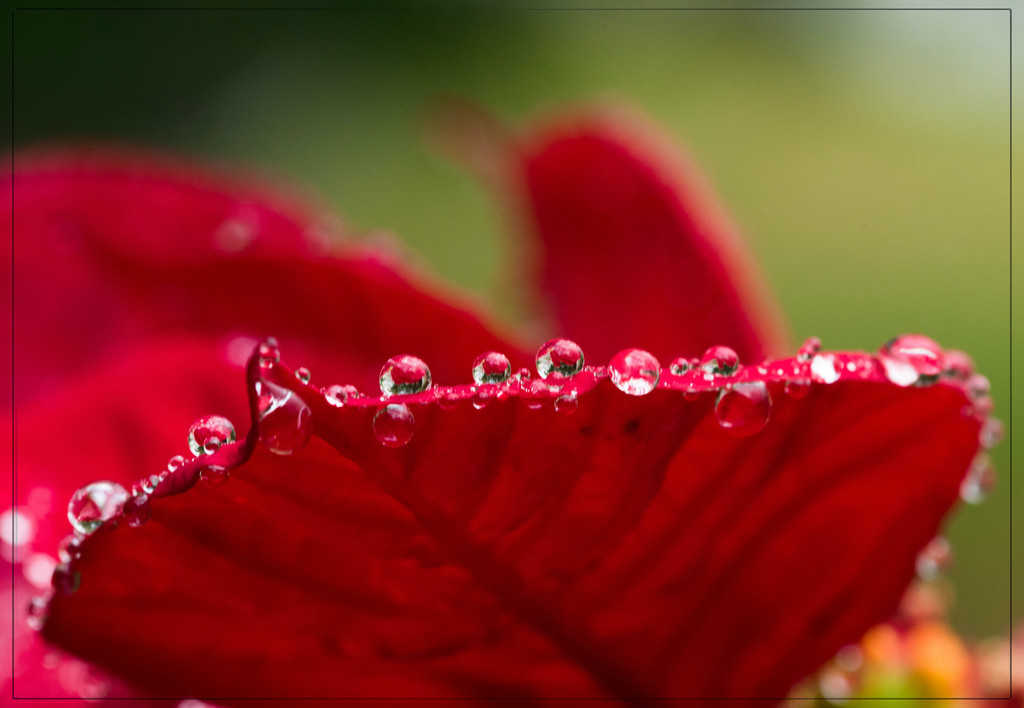 Poinsettia Beads by stray_shooter