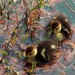 ducklings_49:365 by gaylewood