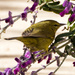 Orange Crowned Warbler by elatedpixie