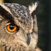 Eurasian Eagle Owl by leonbuys83