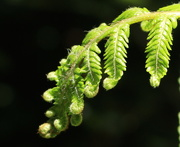 22nd Dec 2015 - Fern fronds