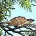 Juvenile Eastern Koel