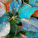 Blue Pointsettia