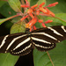 The Zebrawings are still here!! by rickster549