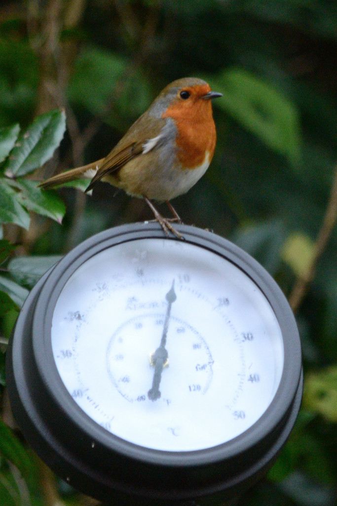 Robin on a thermometer by richardcreese
