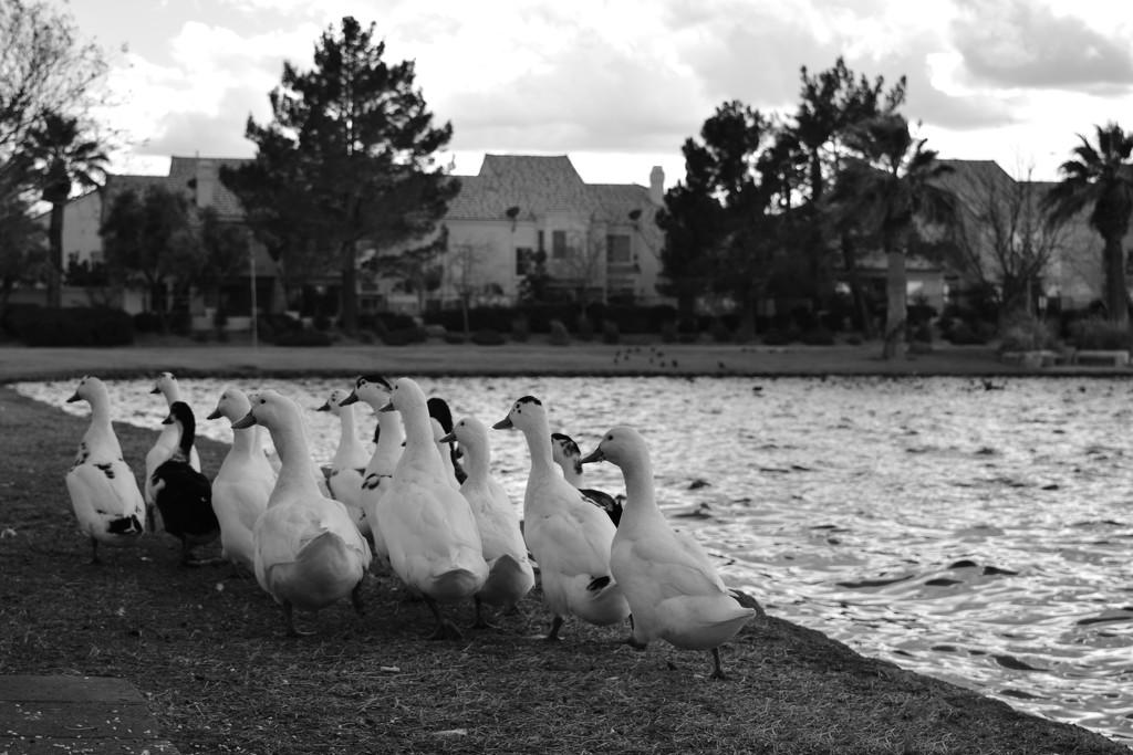 Ducks by mrslaloggie