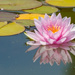 Water Lily by salza