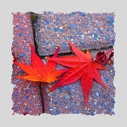 26th Nov 2010 - Chinese Maple Leaves