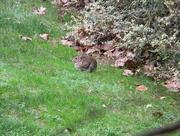 1st Jan 2016 - Fat Rabbit Closeup 1.1