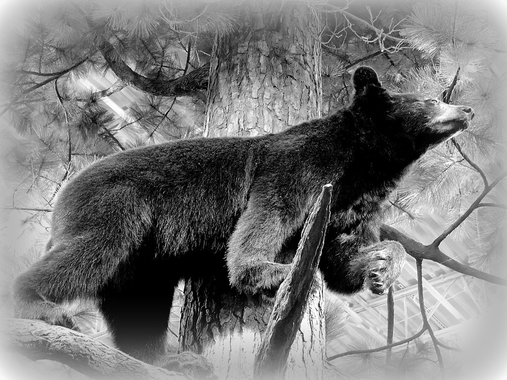 I saw a black bear in a tree by homeschoolmom