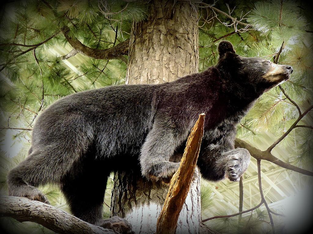 Black Bear in a tree! by homeschoolmom