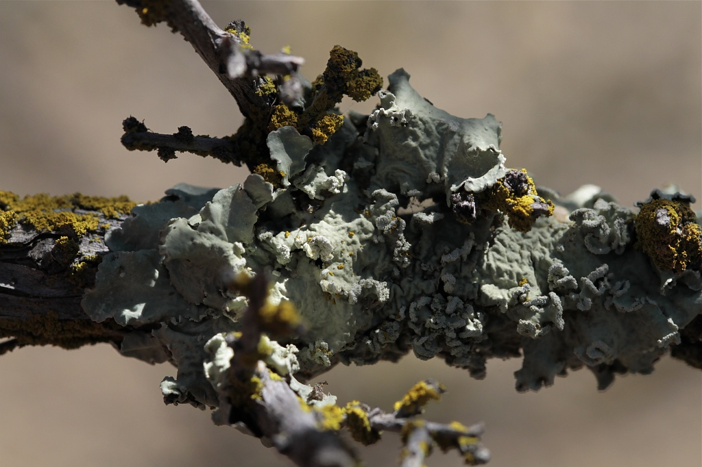 Overlapping Lichens by robv