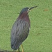 Green Heron Above Duckweed by rob257