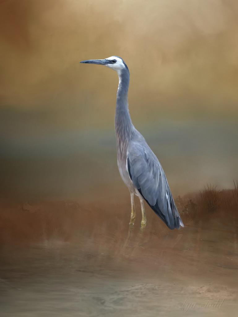 grey heron by ltodd