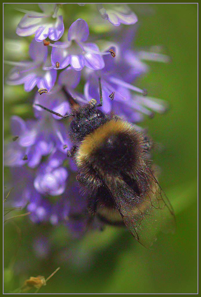 Bumble bee by dide