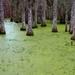 Magnolia Plantation Swamp by jyokota