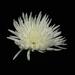 Crysanthemum by suebarni