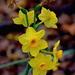 December daffodils, Magnolia Gardens, Charleston, SC by congaree