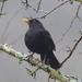 Blackbird - Male  by susiemc