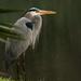 Great Blue Heron Taking a Break by rickster549