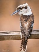 8th Jan 2016 - Kookaburra sits