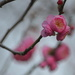Red buds in late December.   by congaree