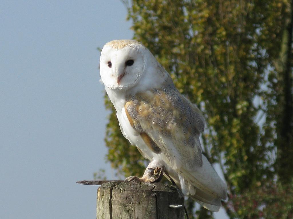 Barn Owl by loey5150