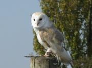 25th Nov 2010 - Barn Owl