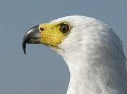 26th Nov 2010 - Bald Headed Eagle